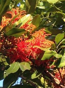 Native Fireweel Flower